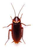 Cockroach Periplaneta americana imago