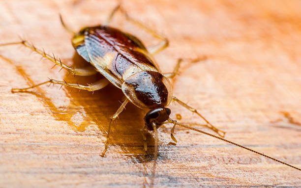 cockroach cockroach on the wooden floor invertebrate stock pictures, royalty-free photos & images