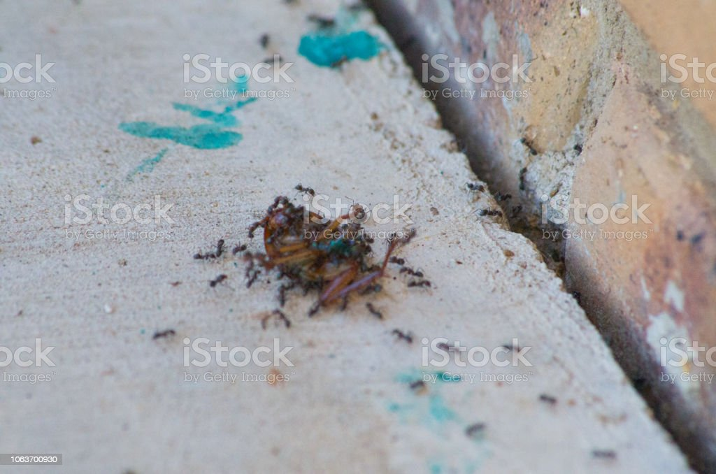 Cockroach poisoned with bait & squashed being eaten by ants stock photo