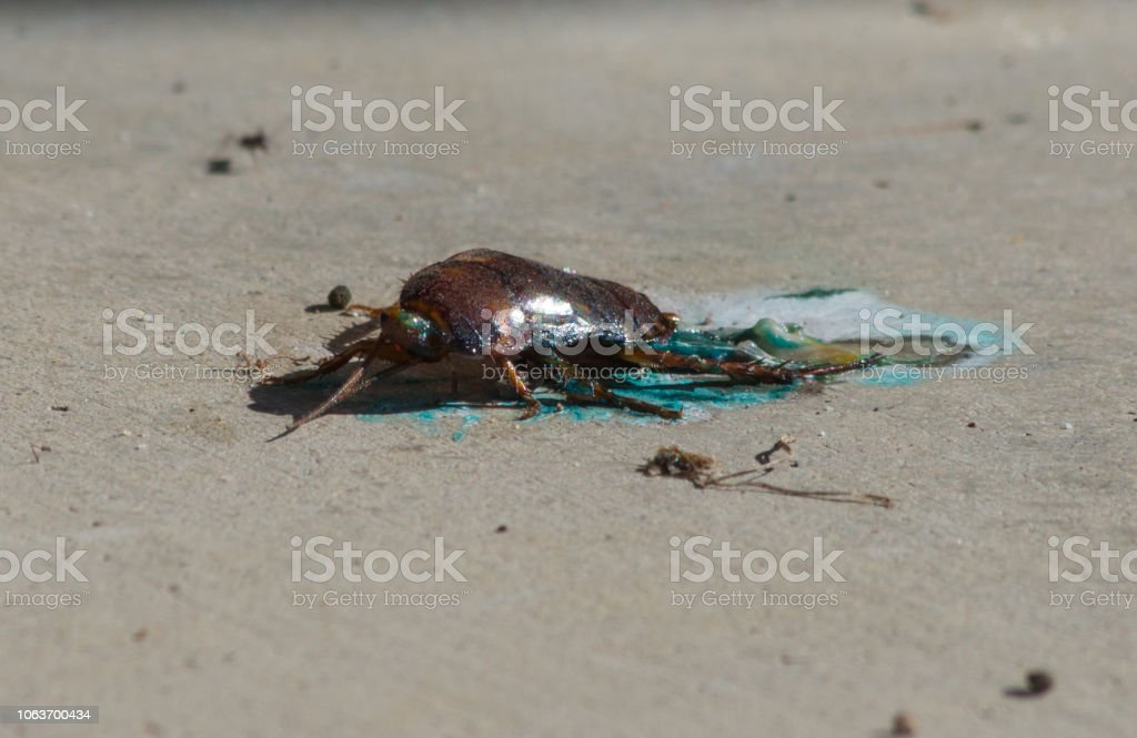 Cockroach poisoned with bait & squashed stock photo