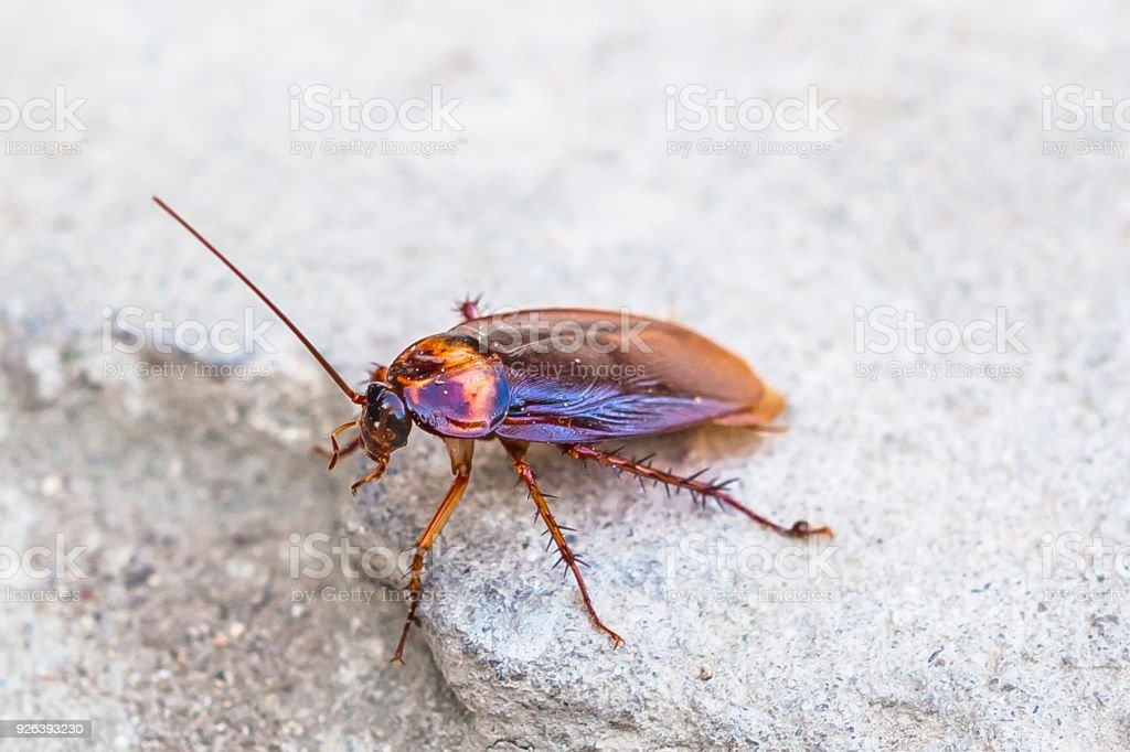 Cockroach, winged adult - foto stock
