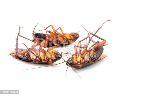 istock Cockroaches dead on white background 503875624