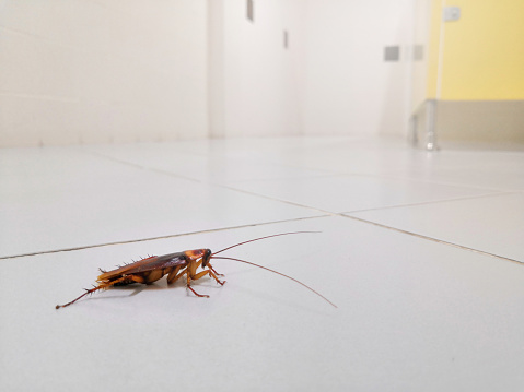 istock Cockroaches on the public toilet floor 1165338330