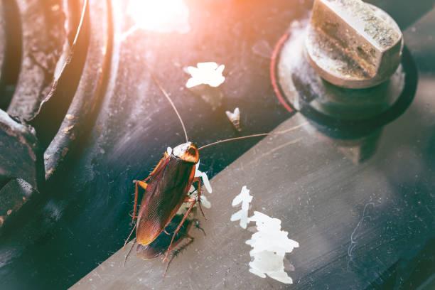kackerlackor på spisen. problemet i huset på grund av kackerlackor i köket. kackerlacka äter fullkornsbröd. kackerlackor är bärare av sjukdomen. - coffe with death bildbanksfoton och bilder