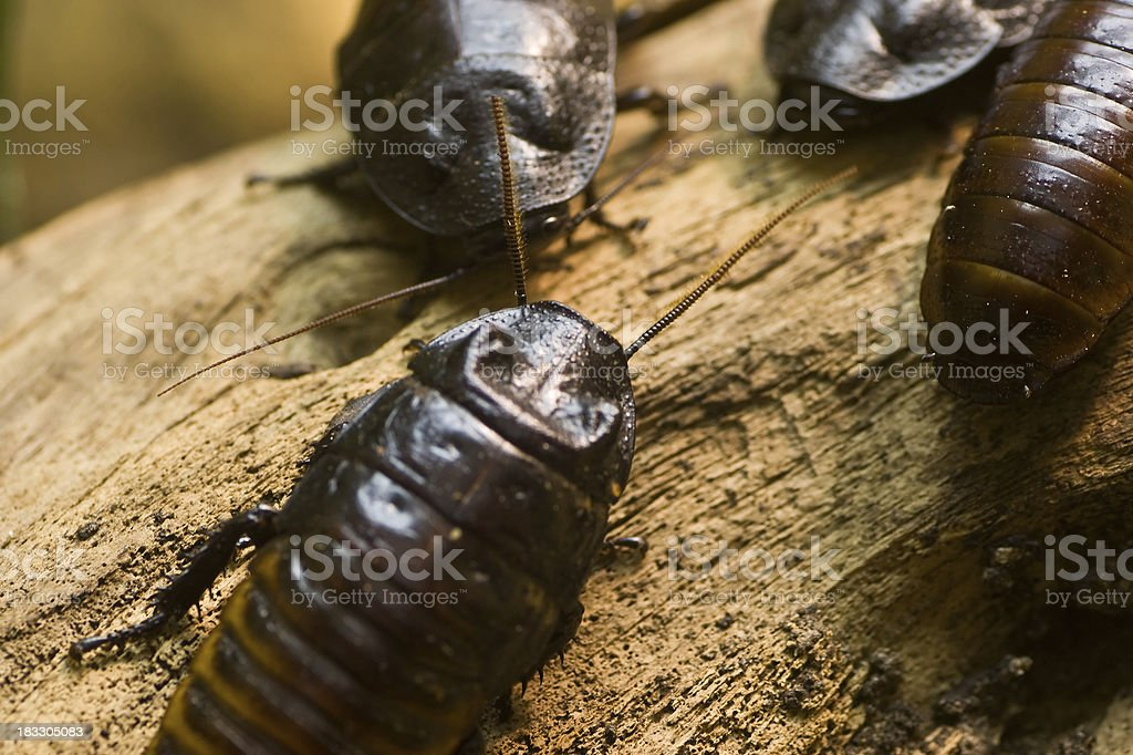 Cockroaches on wood stock photo