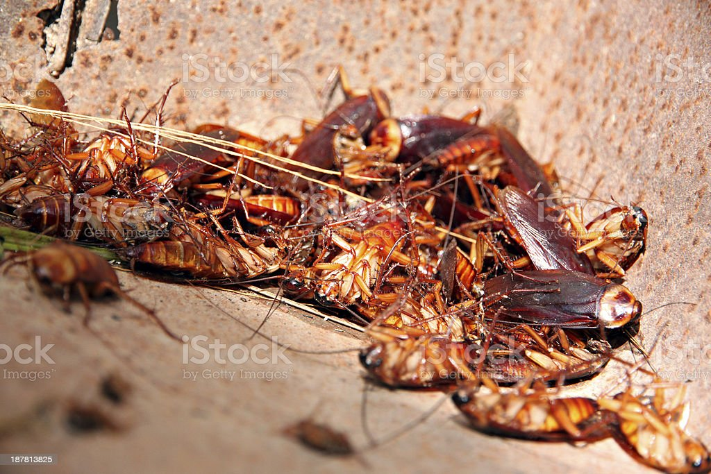 Cockroaches to dead and combination in bin. stock photo