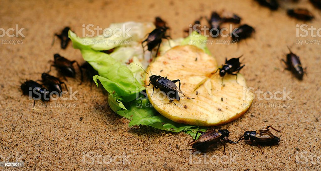 Cockroaches with food leftovers stock photo
