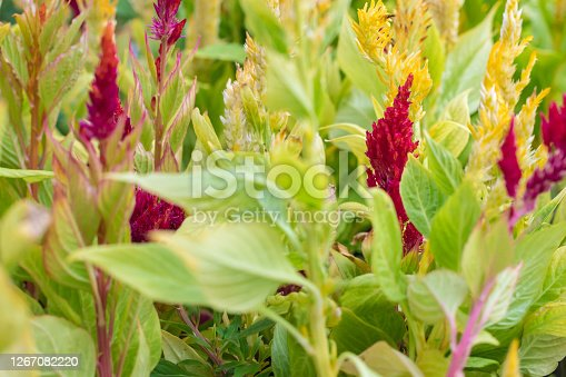 cockscomb flower (Celosia Cristata) in a garden close-up / red and yellow Celosia flowers with green leaves for seedlings. Beautiful natural floral background.