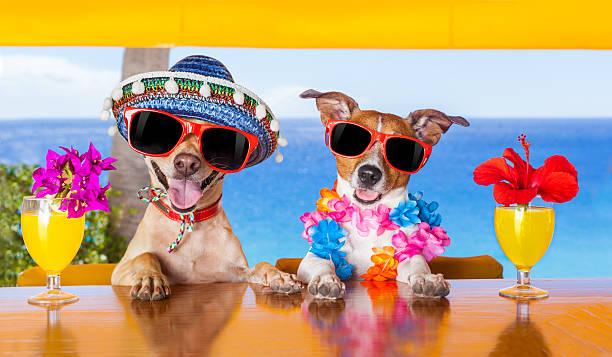 cocktail les chiens - chihuahua chien de race photos et images de collection