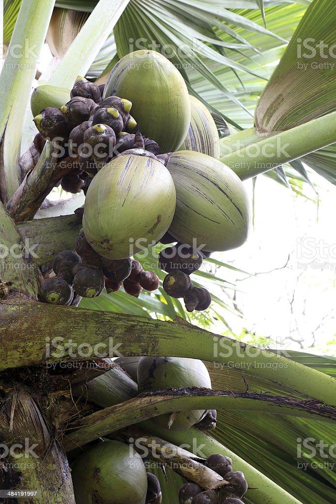 Coco de Mer tree royalty-free stock photo
