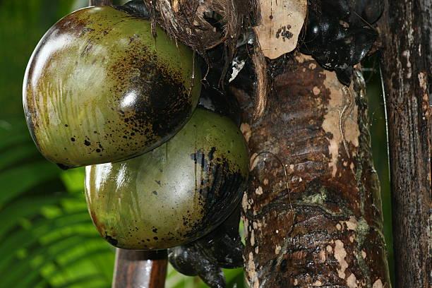 Coco fesses des Seycheles – Foto