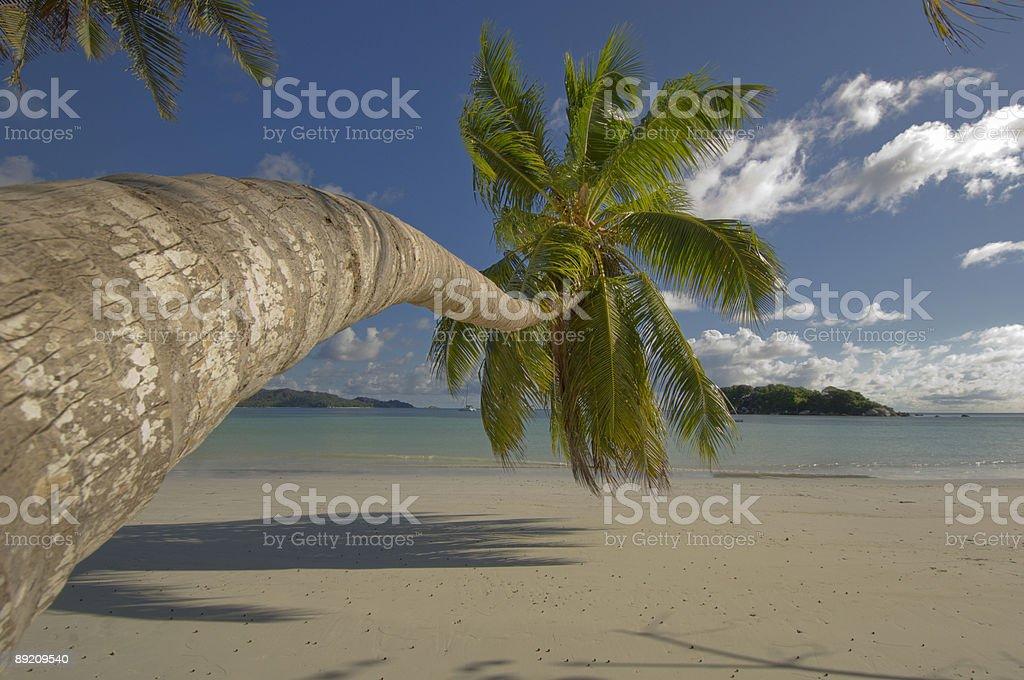Coco palm tree royalty-free stock photo