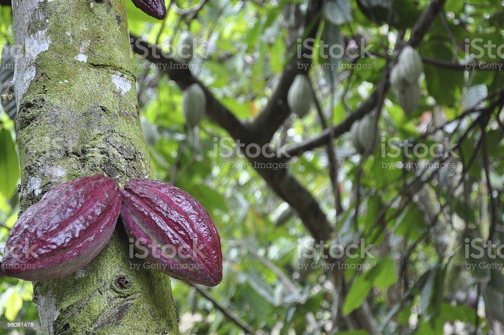 Cocoa Bean Pods royalty-free stock photo