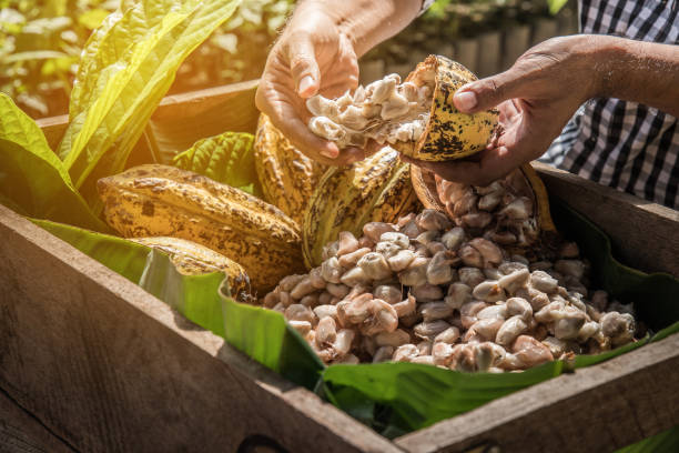 Cocoa Beans and Cocoa Fruits, Fresh cocoa pod cut exposing cocoa seeds, with a cocoa plant in background. Cocoa Beans and Cocoa Fruits, Fresh cocoa pod cut exposing cocoa seeds, with a cocoa plant in background. cocoa bean stock pictures, royalty-free photos & images