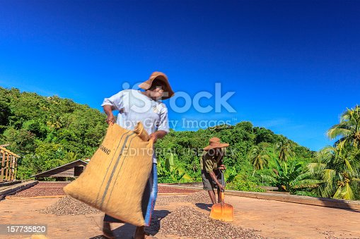 Belmont, Grenada- December 18, 2011: two workers collecting organic cocoa beans on wooden platforms where beans are left to dry.