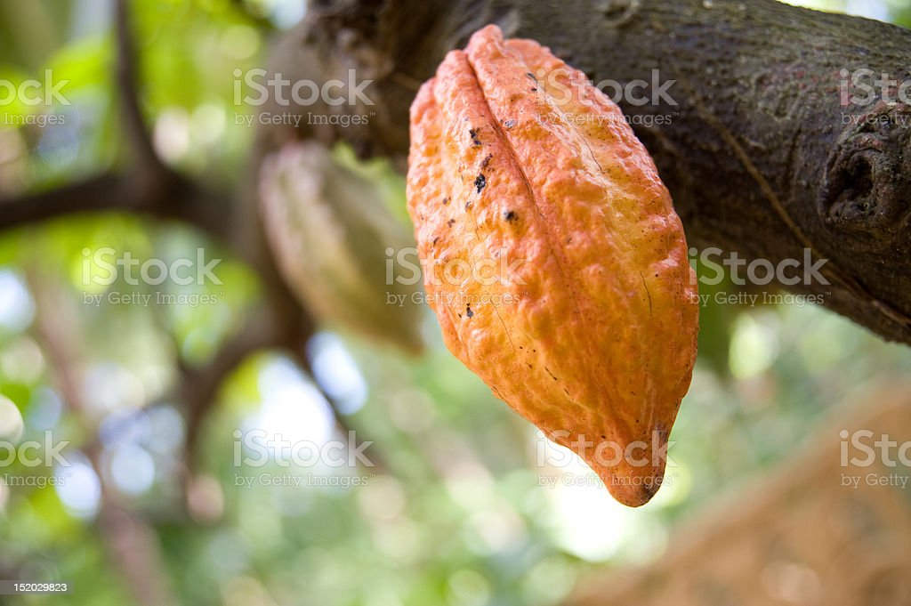 Cocoa, chocolate tree royalty-free stock photo