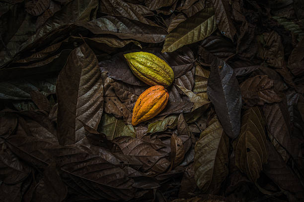 cocoa fruit on coco leaves - departementet chocó colombia bildbanksfoton och bilder