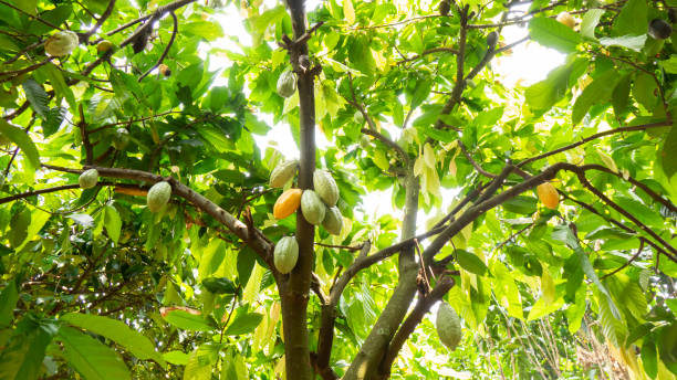 Cocoa fruit on tree Cocoa fruit on tree theobroma stock pictures, royalty-free photos & images
