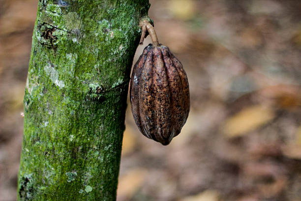 Cocoa fruit (CACAO) stock photo