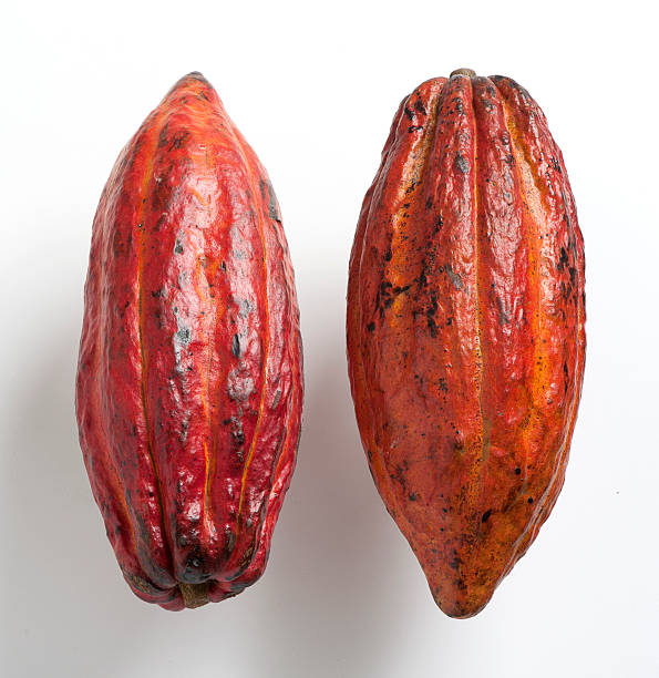Cocoa fruit Cocoa pods, reddish-skinned cocoa fruits, tropical exotic fruit on a white background. plant pod stock pictures, royalty-free photos & images
