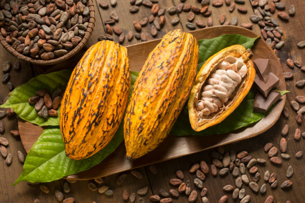 Cocoa fruits and nibs composition Composition of three real cocoa organic fruits surrounded by real cocoa leaves, nibs and chocolate chunks on a wooden tray. One of the fruits is opened. Horizontal photography. Natural lighting. theobroma stock pictures, royalty-free photos & images