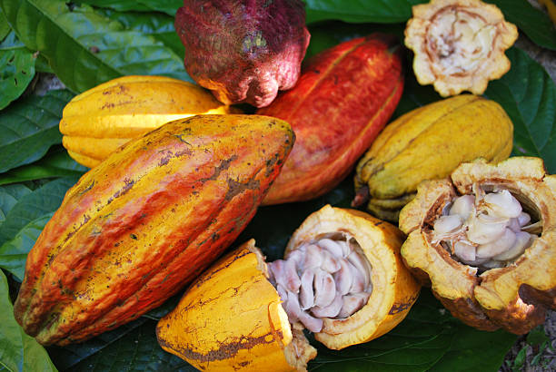 Cocoa fruits Cocoa fruits arranged on top of there leafs theobroma stock pictures, royalty-free photos & images