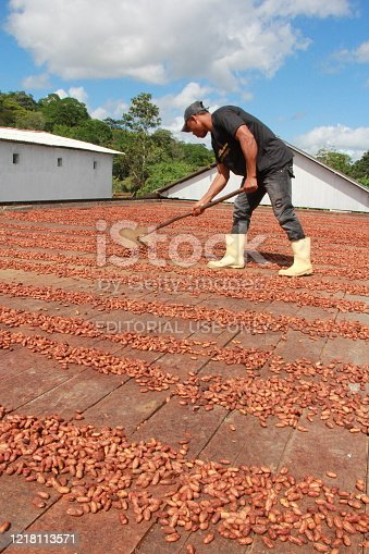 ilheus, bahia / brazil - july 3, 2012: Worker is processing cocoa almonds on farm in the city of Ilheus. The fruit is used for chocolate production.