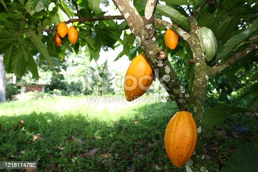 ilheus, bahia / brazil - march 21, 2011: Cocoa plantation in farming in the city of Ilheus. The fruit is used for chocolate production.