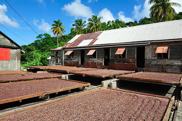 Cocoa Plantation On Grenada stock photo