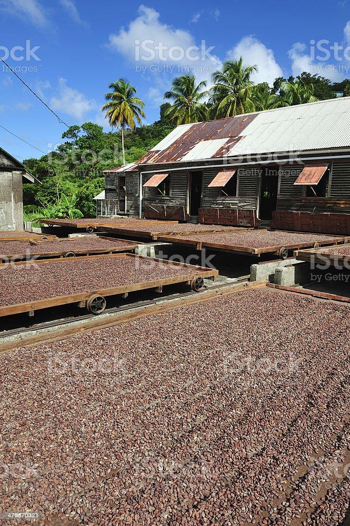 Cocoa Plantation On Grenada royalty-free stock photo