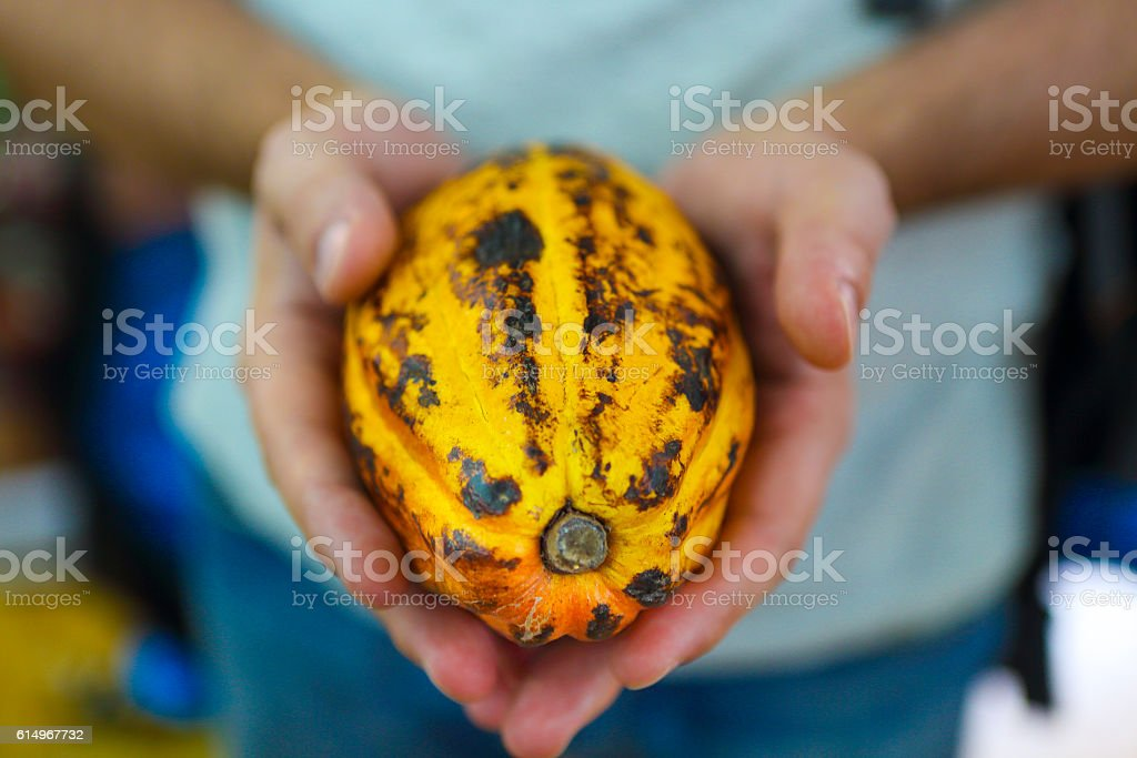 Cocoa pod in mans hand stock photo