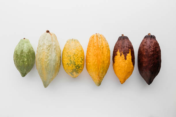 Cocoa pod Cocoa pods on a white background, creative flat lay food concept cocoa bean stock pictures, royalty-free photos & images