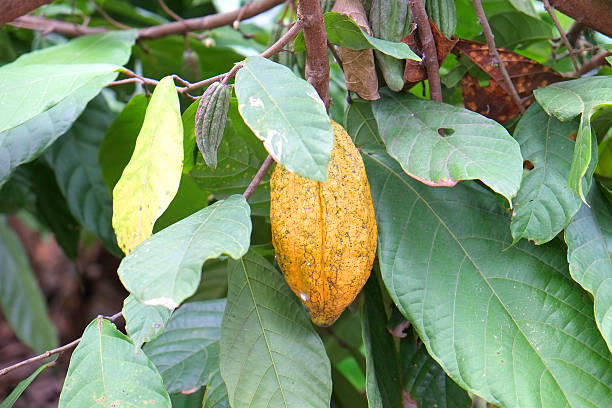 Cocoa pod Cocoa pod in Ivory Coast worldwide first cocoa beans producer côte d'ivoire stock pictures, royalty-free photos & images