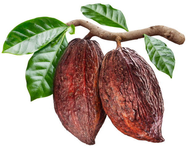 Cocoa pods hanging from the cocoa branch. Cocoa pods hanging from the cocoa branch. Conceptual photo. Clipping path. theobroma stock pictures, royalty-free photos & images
