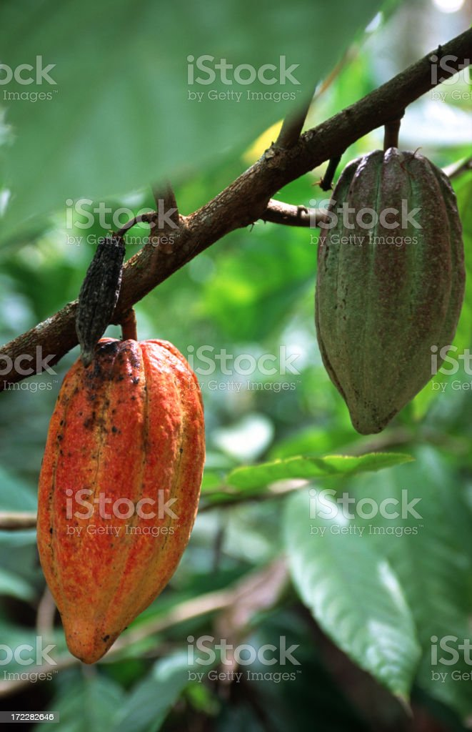 Cocoa pods hanging on a branch royalty-free stock photo