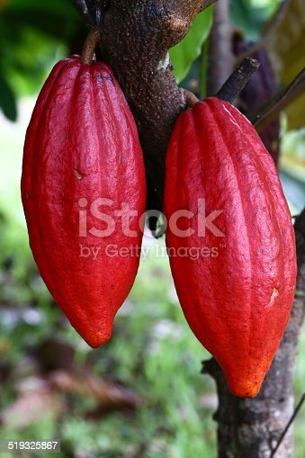 cocoa pods on the tree