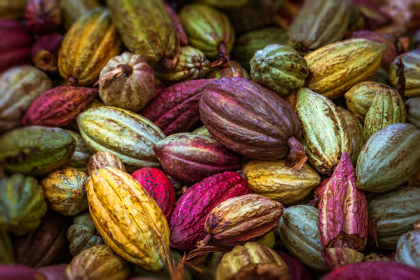 Cocoa pods Cocoa pods from Ambanja, Madagascar cocoa bean stock pictures, royalty-free photos & images