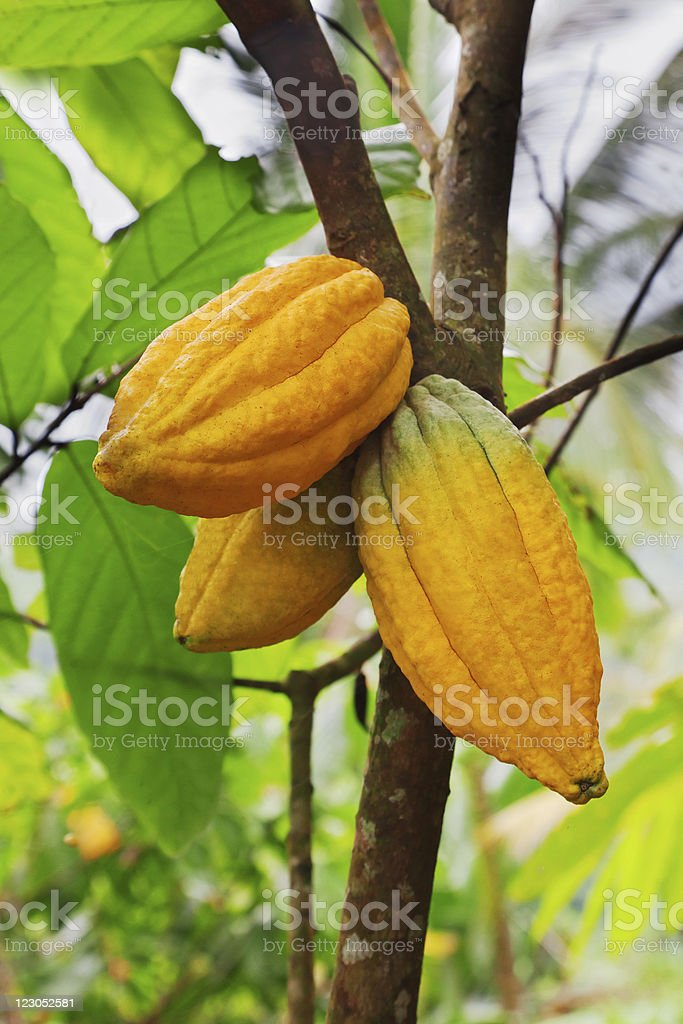 Cocoa pods which produces major chocolate ingredient stock photo