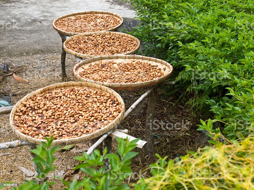 cocoa seed draying on the sun royalty-free stock photo