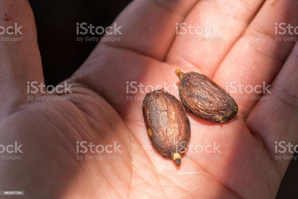 Cocoa seed sprouting on hand background foto de stock royalty-free