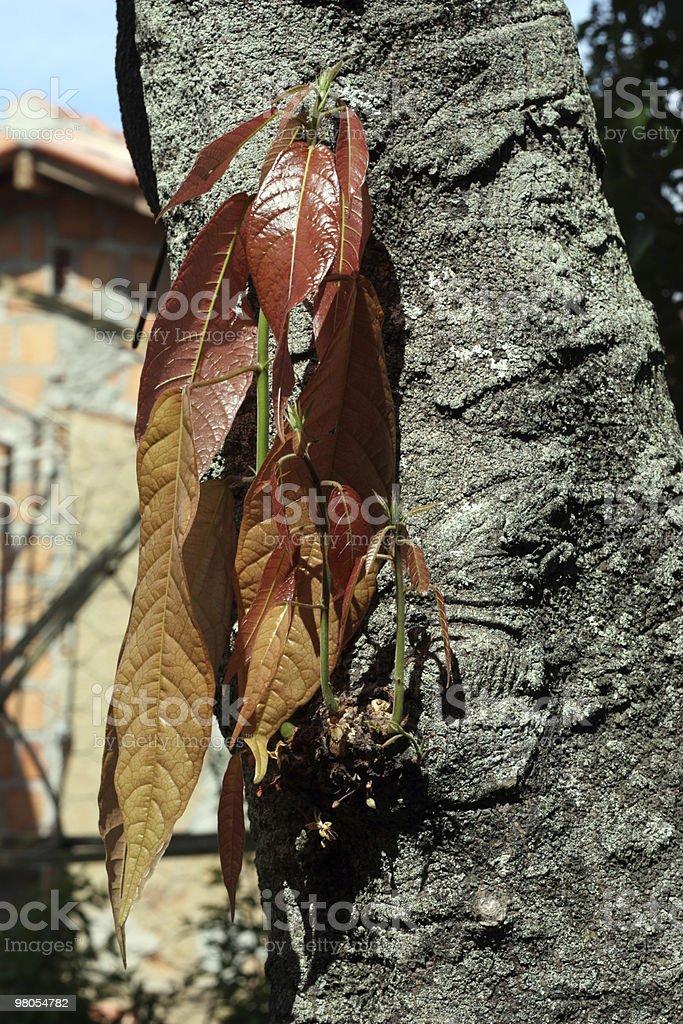 Cacao Tronco d'albero germogli e fiorito foto stock royalty-free