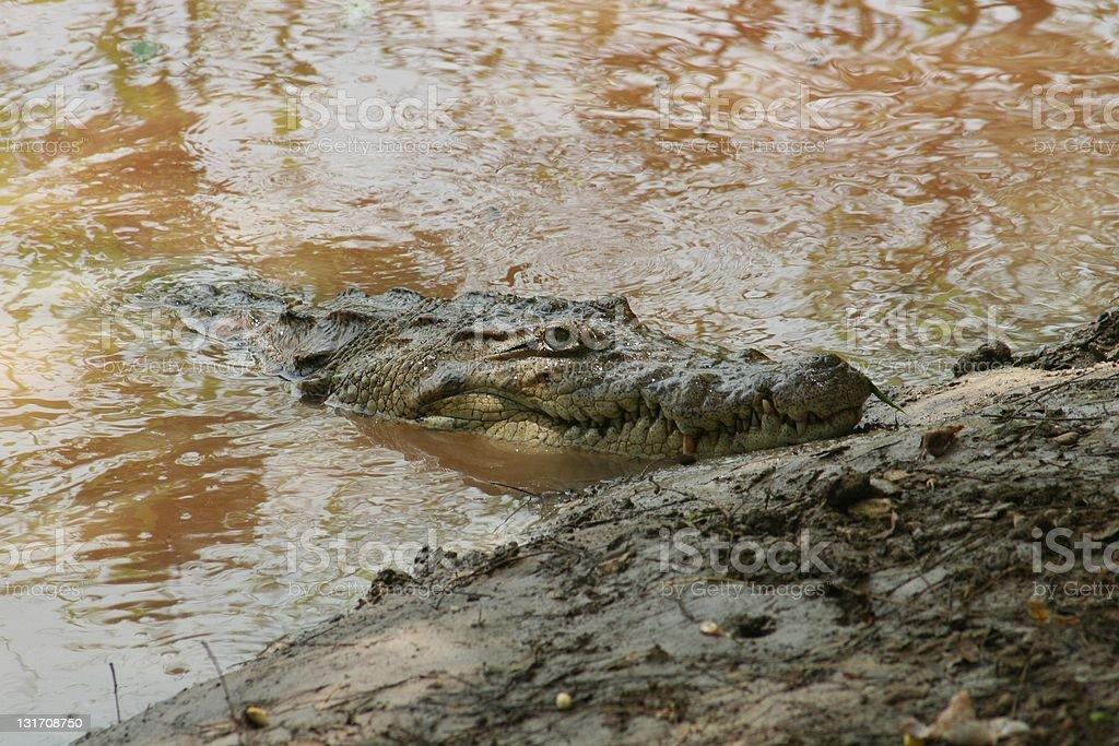 Cocodrilo en un rio. stock photo