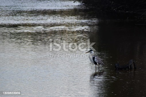 Cocoi heron standing on still waters