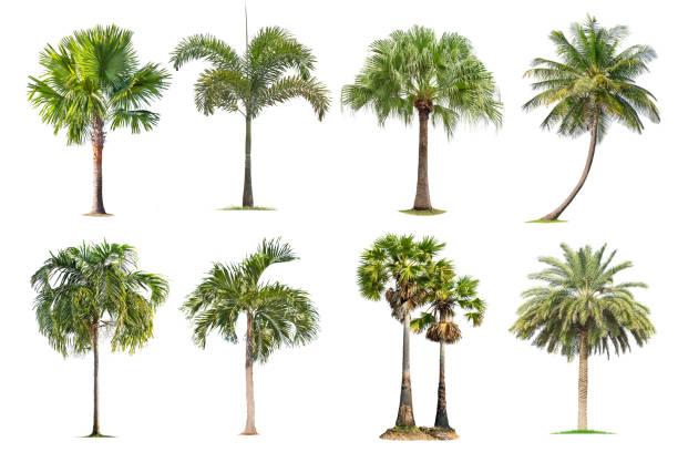 kokosnöt och palmer isolerat träd på vit bakgrund, - palm bildbanksfoton och bilder
