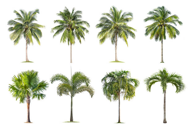 Coconut and palm trees Isolated tree on white background , stock photo