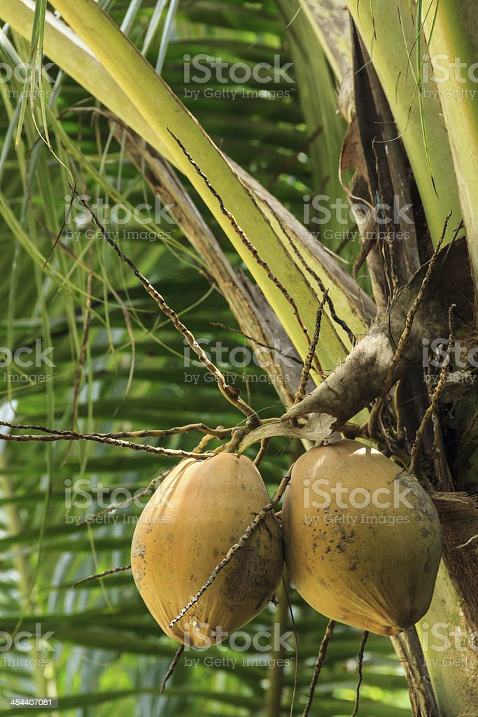 Coconut bunch royalty-free stock photo