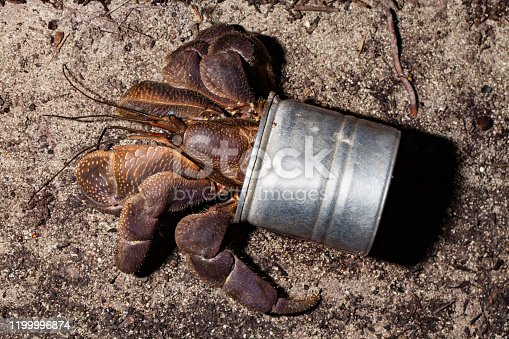 Palm Thief or Coconut Crab Birgus latro is the largest terrestrial hermit crab in the world. The species is widely distributed on remote Indo-Pacific islands of the tropics. Adults have such a tough exoskeleton, they do not carry a shell anymore. Nowadays it is often some rubbish left behind instead of a natural shell, looks weird, but the protection is ok. Only females return to the sea to release fertilised eggs. After the larval stadium, the crabs look for a gastropod shell and return to dry land. Reaching sexual maturity at the age of 5 years, a Coconut Crabs lifespan is up to 60 years! Peleliu Island, Palau, Micronesia, 7°2'1.78