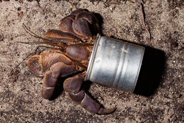 Coconut Crab Birgus latro Using Artificial Shell, Peleliu Island, Palau, Micronesia stock photo