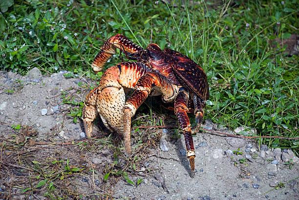 Coconut Crab Claw - Photo