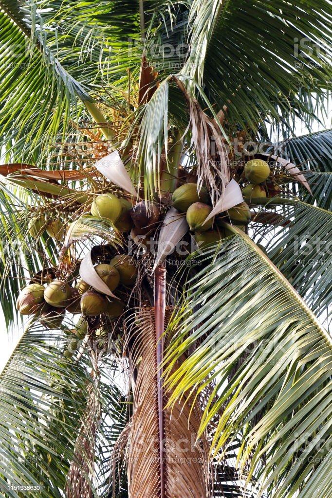coconut farm, plantation coconut palm tree